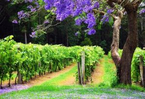 Bago Vineyards - Northern Rivers Accommodation