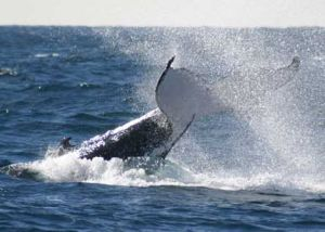 Whale Watching Sydney - Northern Rivers Accommodation