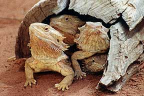 Alice Springs Reptile Centre - Northern Rivers Accommodation